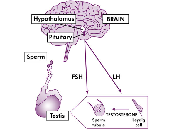 Hormonal links between the brain and the testes and sperm production